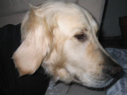 Golden Retriever Paul Froehlich/ liebster Retriever der Welt